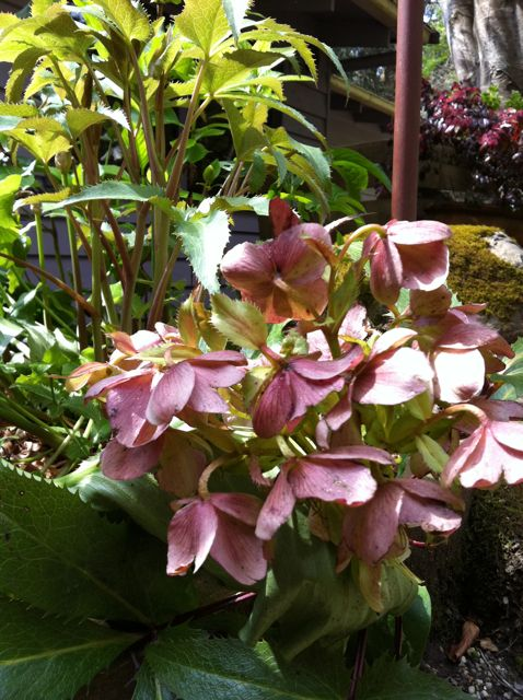 Hellebores - late winter