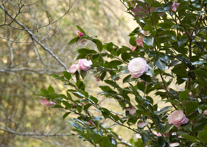 Camellias early Spring